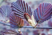 Medelstora lövträd / Här är ett urval av medelstora lövträd ur vårt sortiment.