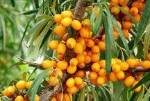 Havtornssortiment / Hippophae rhamnoides i olika sorter. Vad är skillnaden? Förstås honplantor får bär, hanplantor behövs för pollinering, men sen då? Vilka honsorter ska man satsa på...