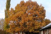 Stora lövträd / De större lövträden i vårt sortiment.