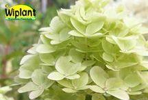 Hortensiasortiment / Vackra buskar som blommar länge på hösten. Planteras i kalkfri, luftig jord (pH 4-5). Hortensiat kukkii pitkin syksyä. Istuta alppiruusumullaan (pH 4-5)
