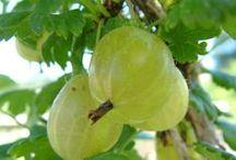 Krusbärssortiment / Våra krusbärssorter och deras egenskaper.