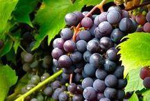 Vinranksortiment / Härdiga vinrankor för odling utomhus och i växthus.
