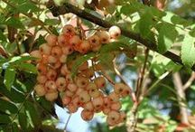 Rönnsortimentet / Olika rönnar (Sorbus) i sortimentet