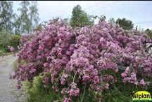Hängande prydnadsträd / Finns även andra sorter t.ex. Hängsälg; Salix caprea 'Pendula', Hängalm: Ulmus pendula,  Hänglärk: Larix decidua 'Puli'. Dessa dock ej alltid så härdiga.