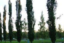 Pelarträd / Vårt sortiment av smalväxande pelarträd.