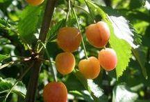 Körsbärssortiment / Vårt sortiment av surkörsbär och bigaråer (sötkörsbär)