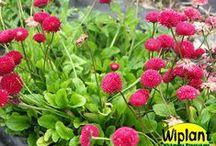 Vårens perenner / Ett urval av de tidigare perennerna som blommar på vår och försommar.
