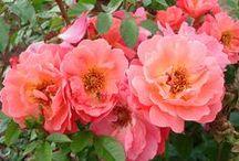 Plant'n'relax rosor / Plant'n'Relax® är en ny serie vackra trädgårdsrosor utvecklade i Danmark. Konceptet fokuserar på dagens moderna kunder som vill plantera och sedan kunna ta det lugnt och bara njuta av trädgården.  - Uusi ruususarja Tanskasta.