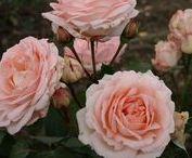 Rabatt- och storblommiga rosor för beställning / Ett urval av alla rosor du kan beställa nu inför våren!