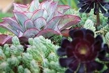 Perennial Garden - Succulents