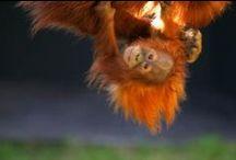 Rejser til Borneo og Malaysia / Vi skræddersyer rejser til Borneo og det øvrige Malaysia. Oplev et fascinerende miks af ældgammel regnskov, utroligt dyreliv og moderne civilisation.    Oplev verdens ældste regnskov, orangutanger og næseaber på den del af Borneo, der tilhører Malaysia. Bo i traditionelle langhuse. Gå tur i trækronerne. Udforsk jungle, floder, Mt. Kinabalu og nogle af verdens bedste dykkerlokaliteter. Og slap af på de hvide strande. Borneo er i sandhed et mekka for naturelskere.