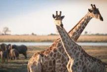 Rejser til Botswana og Namibia / Rejser til Botswana og Namibia rummer nogle af Afrikas mest uspolerede og mindst besøgte nationalparker med fantastiske safari-oplevelser.  Rejser til Botswana er ikke billige, men du får en ultimativ safari-oplevelse i det virkelige Afrika. Oplev Kalahari-ørkenen, Okavango-deltaet og Chobe National Park.  Rejser til Namibia kan gøres billigere end Botswana. Her kan du opleve Sossusvlei, Etosha National Park og ikke mindst Kalahari-ørkenen som fortsætter ind i Botswana.