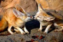 adorable fennec foxes