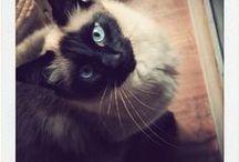 Bronx / Mon mignon petit chat siamois croisé sacré de Birmanie qui est juste un amour