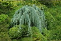 Weeping Trees / Graceful, weeping trees add drama to every landscape.