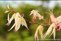 Spring Delights / For bright colors in your spring garden be sure to include some of these stunning Japanese maples and conifers!