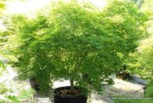 Large and Mature Trees / Specimen sized trees for instant gardening gratification.