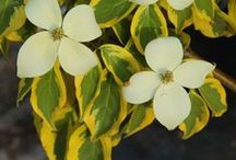 Other Plants / Other plants offered at Conifer Kingdom besides conifers, maples, and ginkgoes.