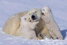 Polar Bears / by Cindy Redden