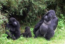 Mountain Gorillas / A tribute to Dian Fossey who worked & dedicated her life to research and protect these amazing creatures from human violence and greed. Sadly, like Joy and George Adamson, Dian was murdered by those she stood against. We must protect these beautiful creatures. They belong.