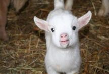 Goats / I ain't goat no type. Baby goats is the only thing I like.