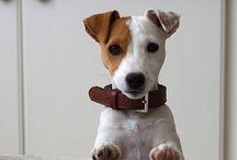 Love jack / Jack russel terrier