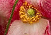 unikot / poppies, so sweet