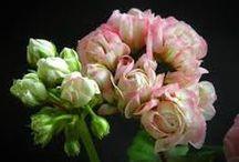 pelargonit / my favorite flowers
