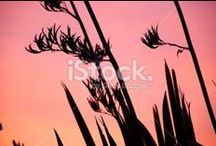 Harakeke (Flax) Stock Photography / Stunning imagery of New Zealand's native Harakeke or Flax.... Because what is more quintessentially New Zealand?