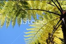Punga (Ponga) Stock Photography / Inspiring Punga images.... The Punga (Ponga) is the Maori word for Tree Fern. It is also more commonly known as a Silver Fern (Cyathea dealbata), it is a native flora of New Zealand. The Silver Fern gets its name from the leaves, as the underside of the leaves turn a silvery-white color with age. It has become New Zealand's emblem in sport. The Koru is also the symbol of new life to the Maori.