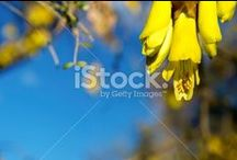 Kowhai Stock Photography / Need an iconic Spring image for New Zealand.....look here for the beautiful golden flower of the New Zealand Sophora, more commonly known by it's Maori name Kowhai (meaning yellow), appearing in Spring across it's native New Zealand.