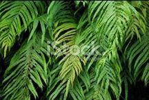 Kiokio Stock Photography / For Simply Beautiful Imagery of the Native New Zealand 'Kiokio' Fern... Kiokio (Blechnum novae-zelandiae) is a member of the family of hard ferns. It is also known as a Gully Fern.