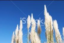 ToeToe (Toi Toi) Stock Photography / Toi Toi Grass.... Beautiful.... as they sway in the wind alondside many a New Zealand View...