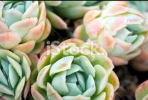 Sempervivum (Hens & Chicks) Stock Photography / SIMPLY STUNNING SEMPERVIVUMS...... Can be purchased for Wedding Invitations.... or Business Cards.... Websites and Blogs.... You can even print on Canvas....