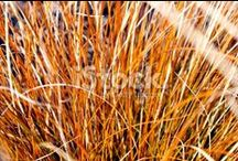 Tussock Stock Photography / Showcasing Aotearoa's Native Grasses... Tussocks and Tussocklands... Simply Beautiful...
