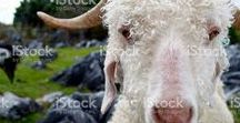 Goat Stockphotos Here / You have Goat to be Kidding me...  Because you never know when you might need a Goat Stockphoto!