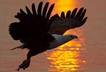 AGUILAS / Águila es el nombre dado a las mayores aves depredadoras. Las diversas especies y subespecies de águilas pueden encontrarse en casi cualquier parte del mundo excepto en la Antártida. Solo un aporte para contemplar a estas maravillosas aves.