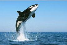 ORCAS / La orca una especie de cetáceo odontoceto perteneciente a la familia Delfines oceánicos, que habita en todos los océanos del planeta. Es la especie más grande de delfínido y la única existente reconocida dentro del género Orcinus. Desde la antigüedad, en la cultura occidental se lo consideró un animal feroz y peligroso. Esa imagen empezó a cambiar desde la década de 1960, al observarse que los primeros animales en cautiverio se comportaban dócilmente y no intentaban agredir a los humanos.
