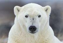 OSO POLAR _ POLAR BEARS / EL OSO POLAR u oso blanco es una especie de mamífero carnívoro de la familia de los osos. Es junto con su pariente, el oso Kodiak, uno de los carnívoros terrestres más grandes de la Tierra.