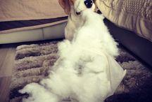 My dog Logan Beagel / Loguś Beagel