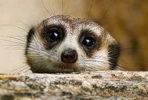Suricati; suricate