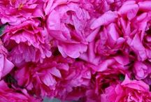 Pretty in Pink/ Sensation rose