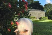 Emily the Pot Belly Pig / Meet Emily our Indoor/Outdoor Pot Belly pig and family member at Blue Stallion Farm