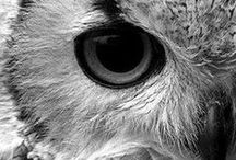 Sova/Owl
