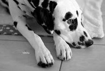 [dalmatianlove] / dalmatian | dog | love | sweet | lovely | little man | black | white | handsome | best friend