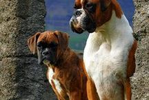 Boxer Friend .... and Others Dog Friends