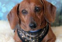Adoptable dachshunds / Dachshunds available for adoption through Little Paws Dachshund Rescue