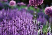 &LAVENDEL / Der Lavendel entführt uns direkt in die Province: Spätestens, wenn sich sein typischer aromatischer Duft entfaltet, werden Urlaubserinnerungen wach.