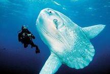 Sunfish (Mola mola)
