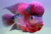 Flowerhorn Fish / This board is dedicated to images of the amazing flower horn fish.